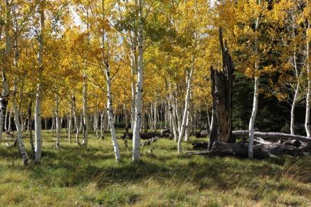 Aspen trees showing golden fall color and white trunks.