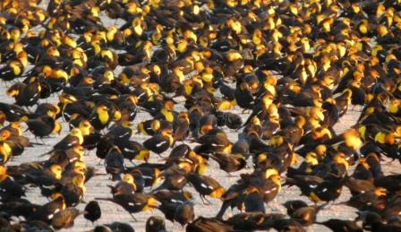 Large flock of yellow headed blackbirds gathers to greet the sunrise