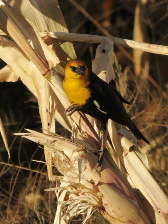 Yellow headed blackbird perched on corn stalk