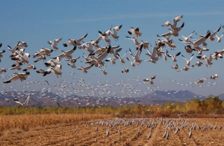 Snow geese in flight over cornfield full of sandhill cranes