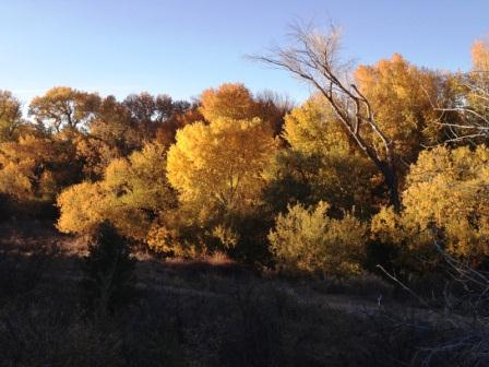 Golden Cottonwoods glow along Granite Creek