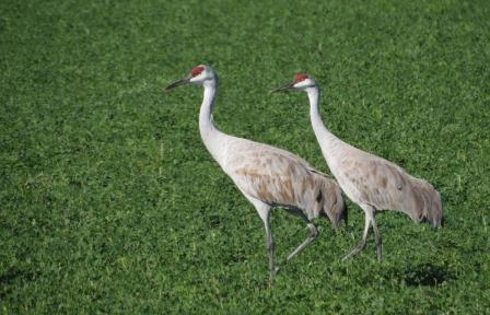 A Pair of Sandhill Cranes walk in alfalfa field at Cibola NWR