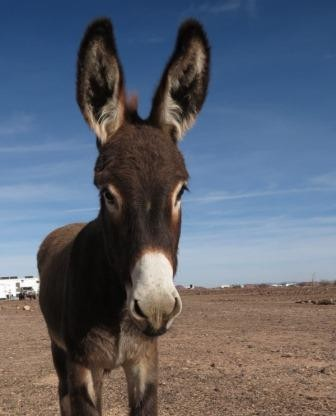 Baby burro with large ears